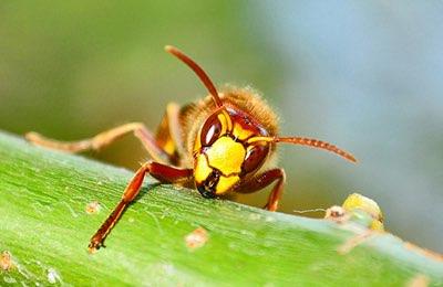 Las picaduras y mordeduras más probabilidades de causar una reacción grave o anafilaxia son abejas, avispas, avispones, avispas y hormigas.